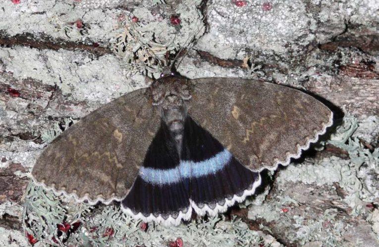 В Чернобыле обнаружили гигантскую бабочку