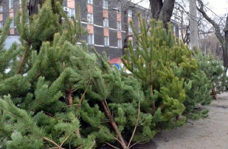 Стало известно, где и когда киевляне смогут купить новогодние ёлки
