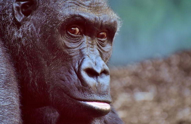 У горилл впервые нашли коронавирус