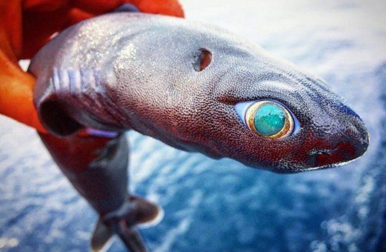 В Новой Зеландии обнаружено три новых вида светящихся акул