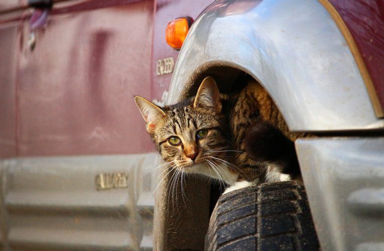 Кот разбудил дальнобойщиков настойчивым сигналом (Видео)