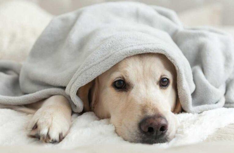 Загадочное заболевание у собак оказалось кишечным коронавирусом