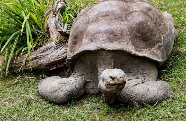 Галапагосские черепахи, которых считали вымершими уже 115 лет, вернулись на острова