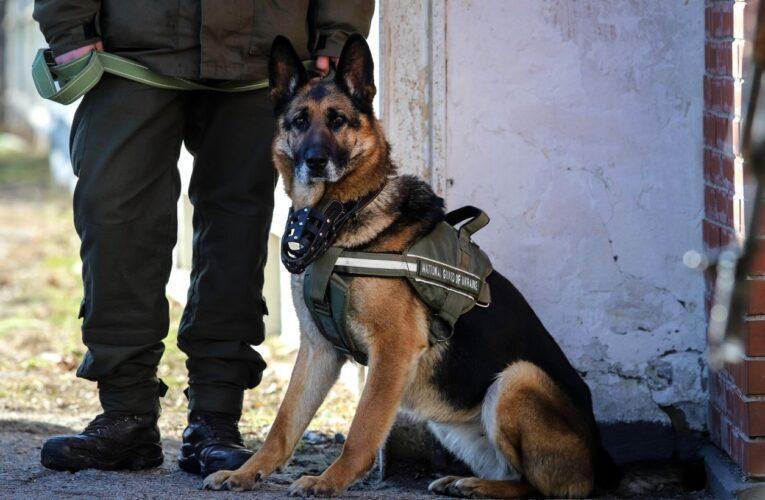 Служебные собаки выявляют носителей коронавируса в аэропортах ОАЭ
